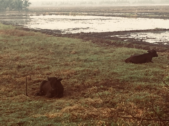 Cows in the Keralan backwaters.